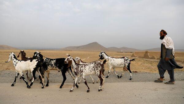 An Afghan man walks with his goats on the outskirts of Kabul, Afghanistan July 13, 2021. - Sputnik International