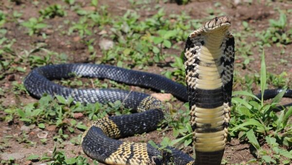 Photo provided by Texas' Grand Prairie Police Department of a similar West African Banded Cobra snake as part of a reference image for the public. - Sputnik International