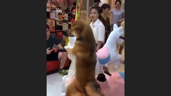 Cutest Shiba Inu Dogs. - Sputnik International