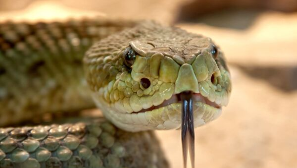 a rattlesnake - Sputnik International