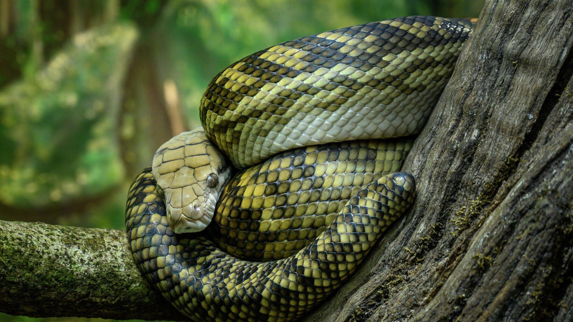 Python in Australia Zoo, Beerwah, Sunshine Coast - Sputnik International, 1920, 18.09.2021