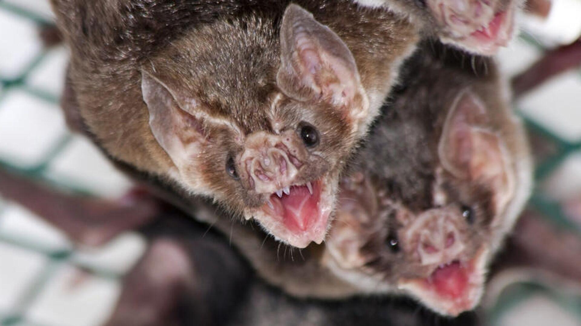 Vampire bat allogrooming - Sputnik International, 1920, 09.10.2021