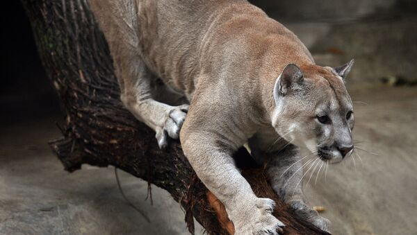 A cougar at the Moscow Zoo. - Sputnik International