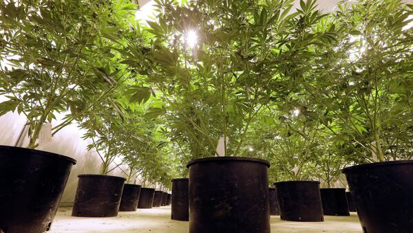 In this photo taken Tuesday, Jan. 13, 2015, marijuana plants sit under powerful growing lamps at the Pioneer Production and Processing marijuana growing facility in Arlington, Wash. Washington's second-in-the-nation legal marijuana market opened last summer to a dearth of weed, with some stores periodically closed because they didn't have pot to sell and prices were through the roof. Six months later, the equation has flipped, bringing serious growing pains to the new industry. Prices are starting to come down in the state's licensed pot shops, but due to a glut, growers are struggling to sell their marijuana. - Sputnik International