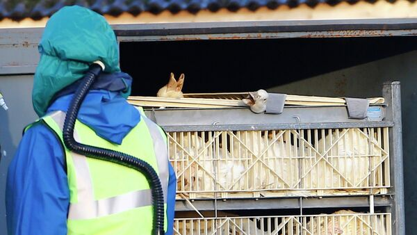 Department For Environment Food and Rural Affairs (DEFRA) officials move crates of ducks during a cull at a duck farm in Nafferton - Sputnik International