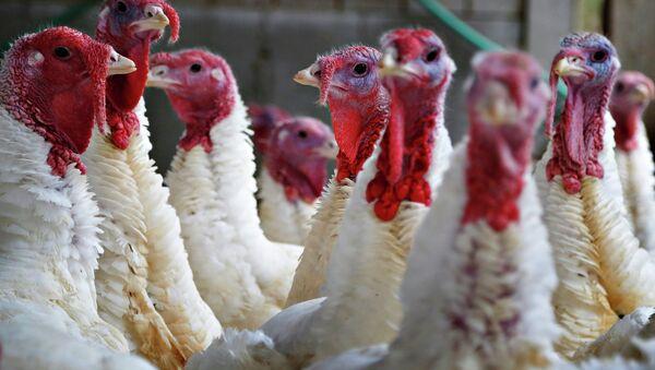 Turkeys look around their enclosure at Seven Acres Farm in North Reading, Massachusetts November 25, 2014 - Sputnik International