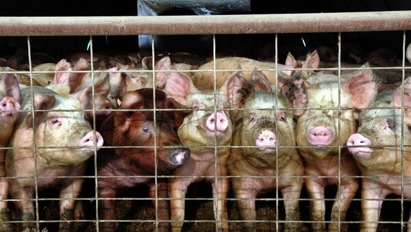 Pig farm - Sputnik International