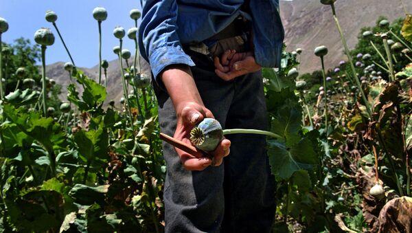 A close-up of an opium poppy - Sputnik International