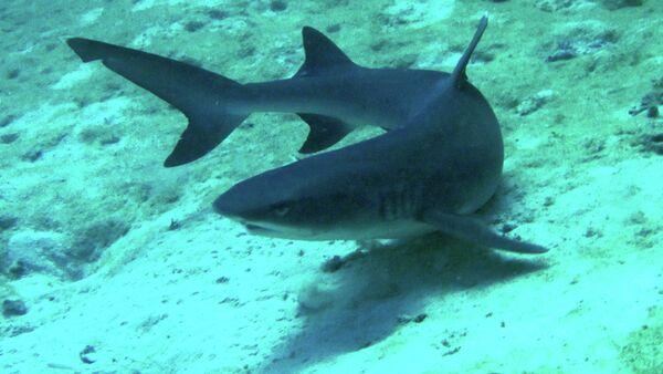 The attack occurred at Rudder Reef, near Port Douglas, Queensland.   Above: Reef shark - Sputnik International