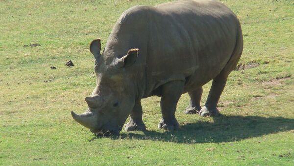 Northern White Rhinoceros - Sputnik International