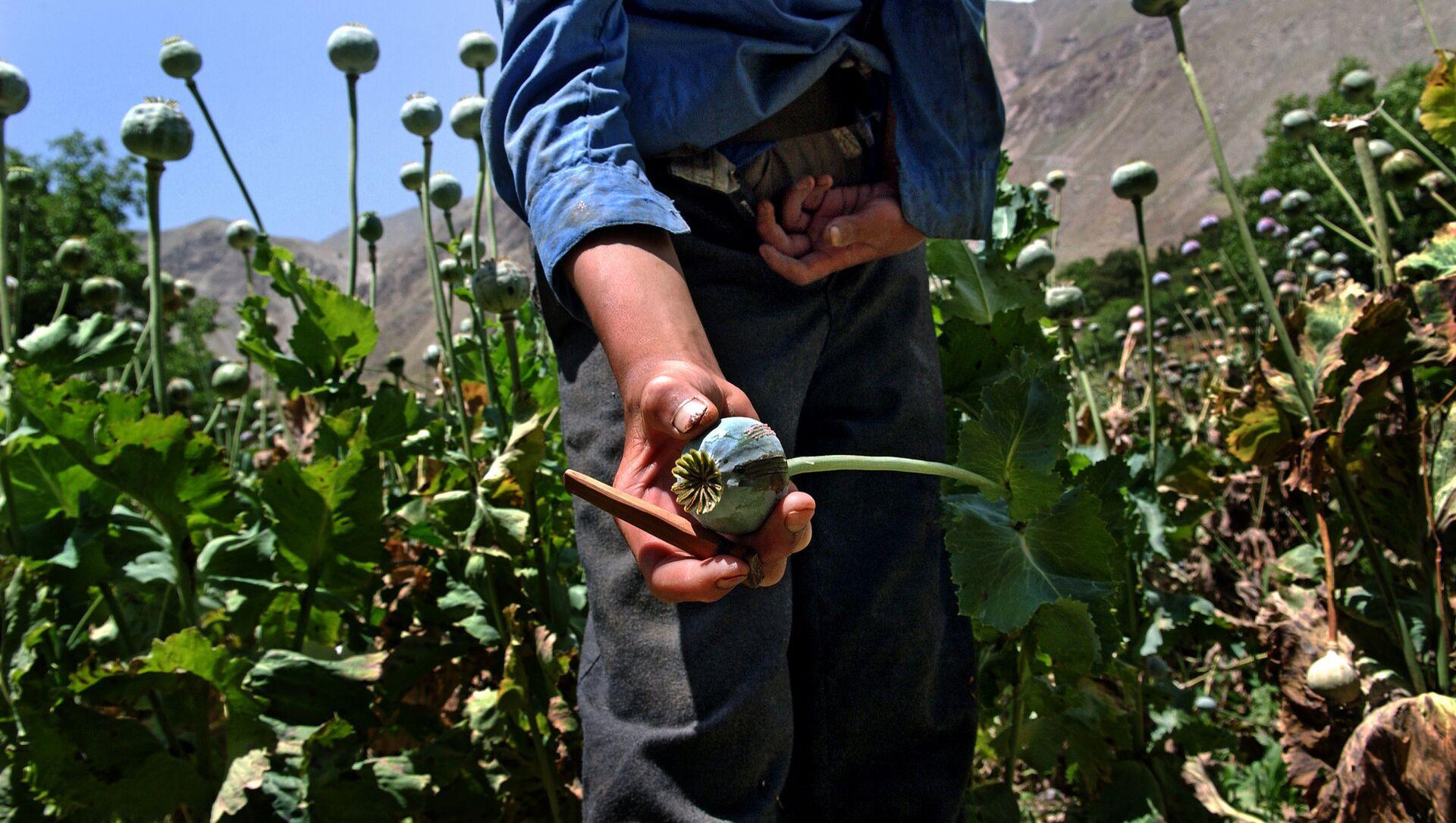 NATO mission fails to cripple opium trade in Afghanistan: expert - Sputnik International, 1920, 29.08.2021