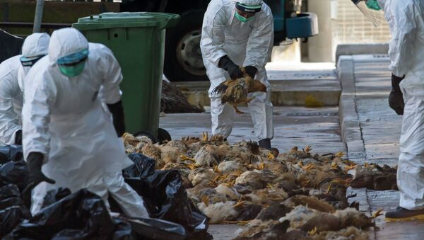 Health workers pack dead chickens into trash bins at a wholesale poultry market in Hong Kong December 31, 2014 - Sputnik International