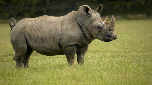 White Rhinoceros - Sputnik International