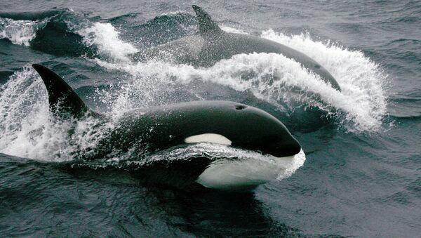 Killer whales - Sputnik International