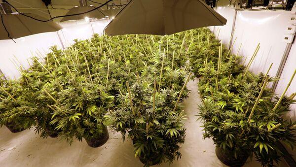 Pot Plants Sit Under Powerful Growing Lamps - Sputnik International