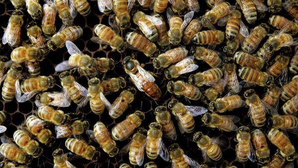 Honeybees in Danger - Sputnik International