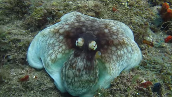 Diver, Jonathan Gordon, catches the stunning moment an octopus appears seemingly out of nowhere. I had literally no idea he was there until I was about a metre away, he writes about the moment this video was taken. - Sputnik International