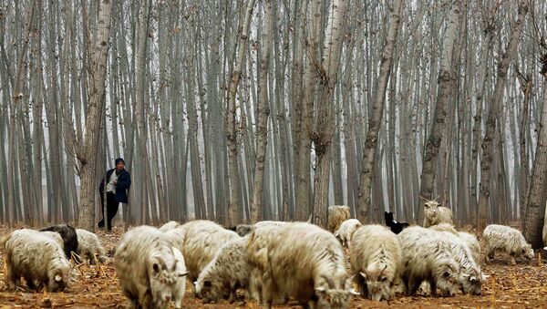 A herdsman takes a rest while he drives his goats at a corn field at Dashiwo village, on the outskirts of Beijing - Sputnik International