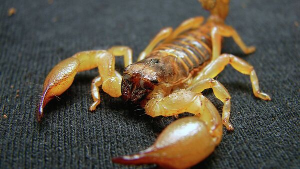 A scorpion similar to the one that recently stung a passenger on an Alaska Airlines flight - Sputnik International