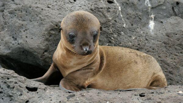 Baby Sea Lion - Sputnik International