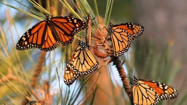 The monarch butterfly population has decreased by about 950 million butterflies since 1997. - Sputnik International