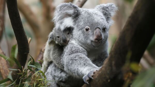 The yet unnamed male koala joey rides on his mother Goonderrah's back at the Zoo in Duisburg, western Germany - Sputnik International