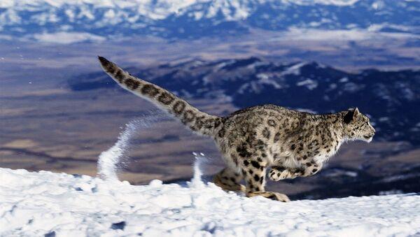 Snow Leopard or Ounce, uncia uncia, Running through Mountains - Sputnik International