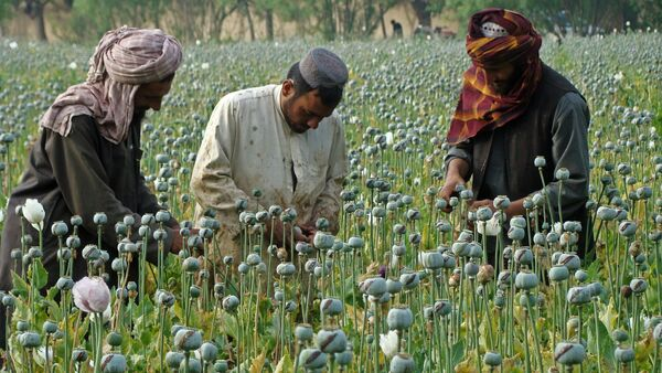 In this picture taken on Monday, April 21, 2014, Afghan farmers slice open the green poppy bulbs, swollen with raw opium, the main ingredient in heroin, on a poppy field in Helmand province, southern Afghanistan - Sputnik International