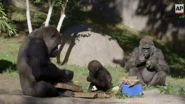 Cuteness Overload! Baby Gorilla Celebrates 1st Birthday - Sputnik International