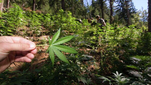 Marijuana Field in North Cascades National Park - Sputnik International
