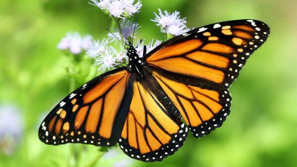 Monarch butterfly - Sputnik International