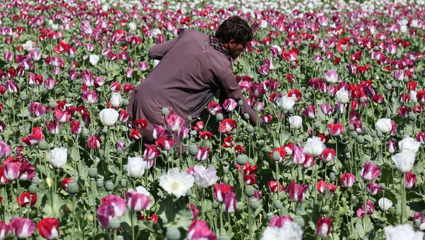 An Afghan farmer works on a poppy field collecting the green bulbs swollen with raw opium, the main ingredient in heroin. - Sputnik International