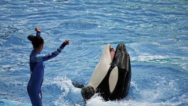 Killer whale show at Sea World's Shamu Stadium in Orlando, Florida - Sputnik International