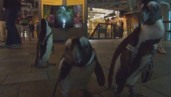 It's a Penguin Parade! - Sputnik International