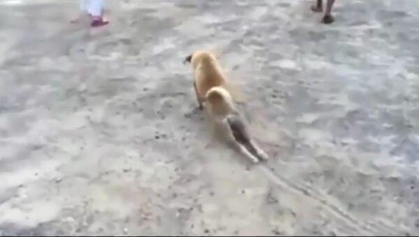 Dog faking injury in cheeky bid to get treat - Sputnik International