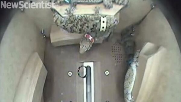 Geckos Get Playful in Zero-Gravity - Sputnik International