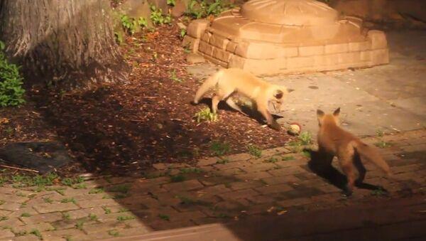 Fox Pups Playing with Dog's Ball - Sputnik International