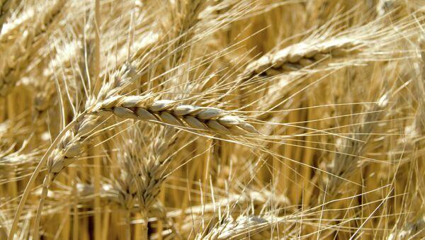 Grain harvest in the fields - Sputnik International