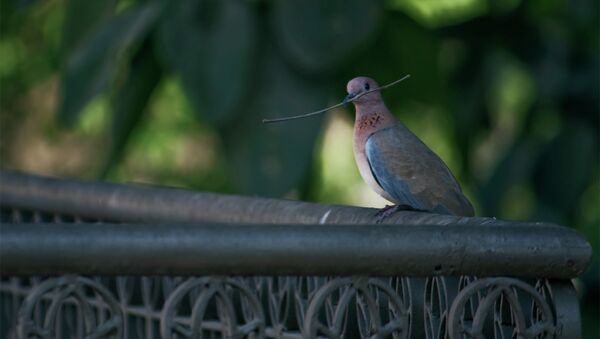 Pakistani pigeon - Sputnik International