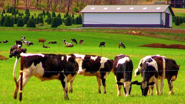 Dairy cows - Sputnik International