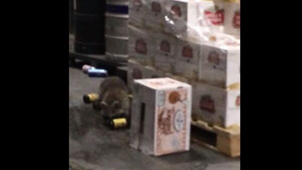 Drunk Raccoon - Sputnik International