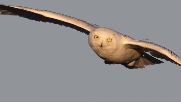 Snowy owl on the hun - Sputnik International