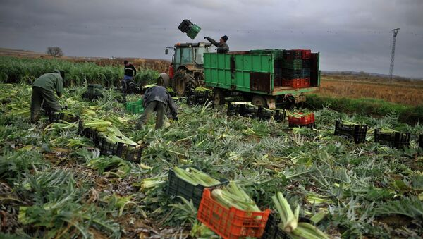 In this photo taken on Monday, Jan. 14, 2013, Tomas Jimenez, 44 year-old Spanish farmer, on the tractor, throws a plastic crate as farmers harvest winter crops, while the rain falls in the small town of Peralta, northern Spain on Tuesday, Jan. 15, 2013 - Sputnik International