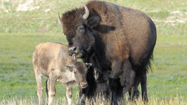 Anthrax to Blame? Mysterious Bison Deaths Under Investigation in Montana - Sputnik International