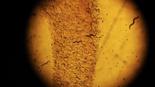 Caenorhabditis elegans - Sputnik International