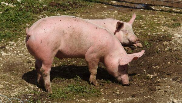Pigs on Plateau du Semnoz - Sputnik International