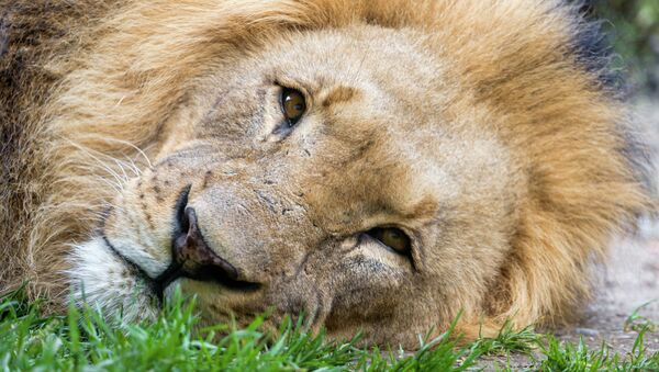 One of the most famous and beloved lion in Africa has been brutally killed at the Zimbabween national park by allegedly a Spaniard for $50,000. - Sputnik International