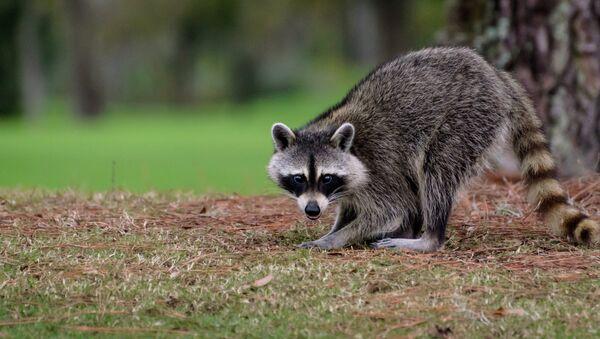 A raccoon - Sputnik International