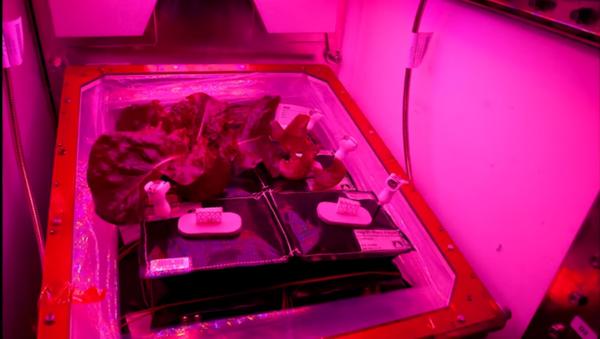 Red romaine lettuce grown onboard the International Space Station. - Sputnik International