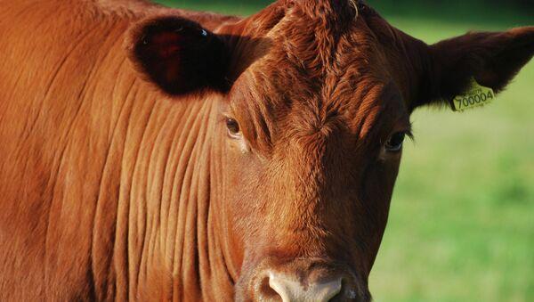 Red cow - Sputnik International